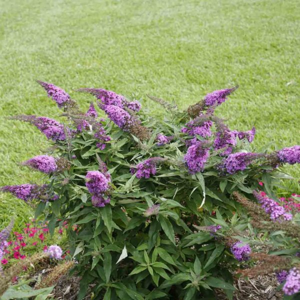 Buddleia Pugster Periwinkle Butterfly Bush