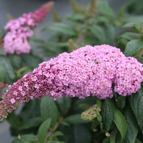 Buddleia Pugster Pink, Butterfly Bush
