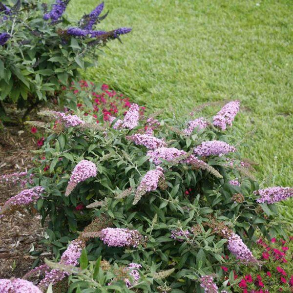 Buddleia Pugster Pink Butterfly Bush