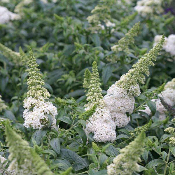Buddleia Pugster White, Butterfly Bush