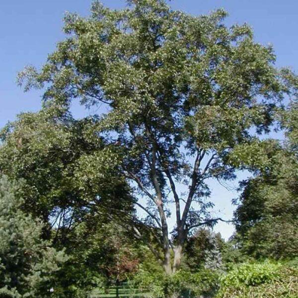 Carya illinonensis, Pecan Tree