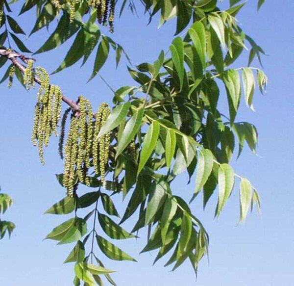 Carya illinoinensis Pecan Tree