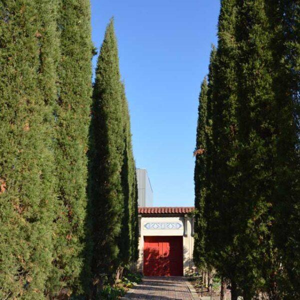 Juniperus Taylor, Juniper