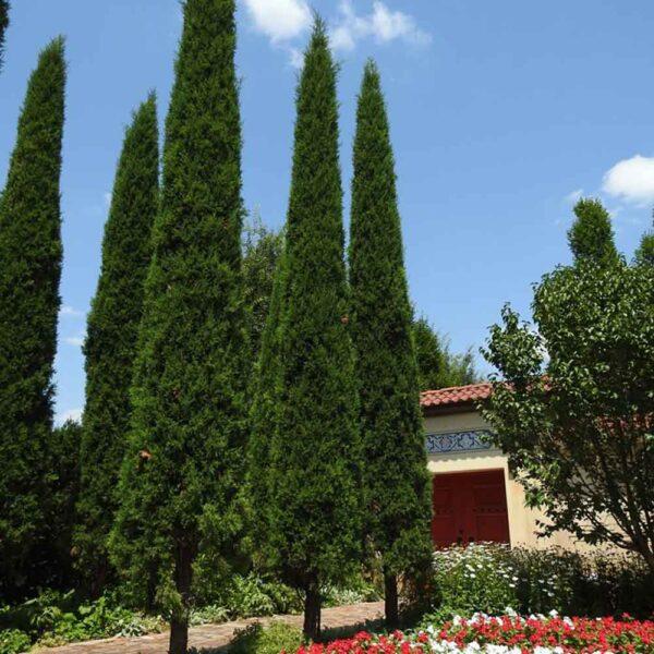 Juniperus Taylor Juniper