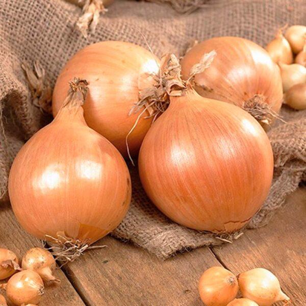 Onion Yellow Stuttgarter