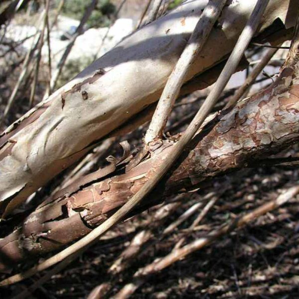 Physocarpus opulifolius, Ninebark