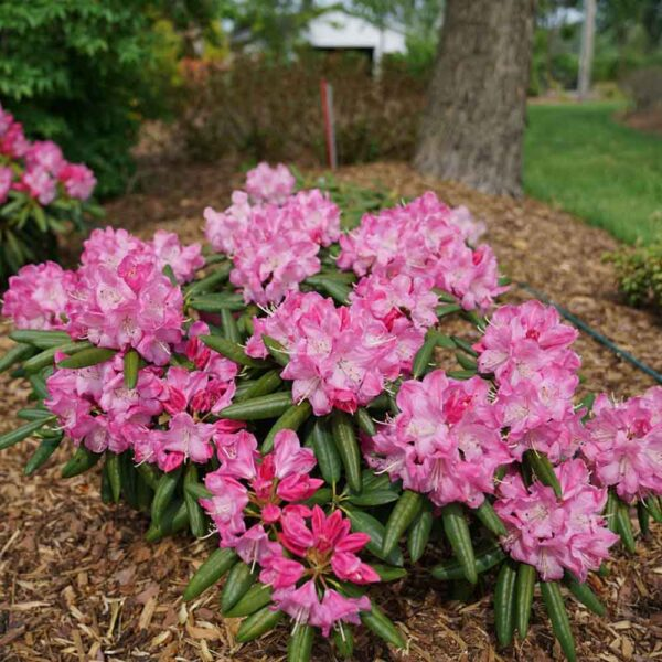 Rhododendron Dandy Man Pink