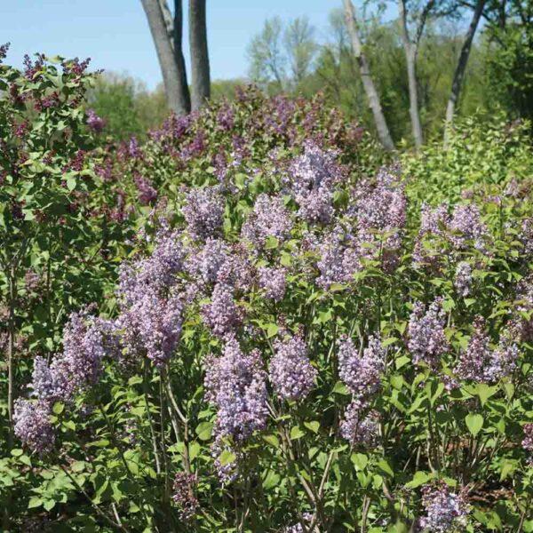 Syringa Scentara Double Blue, Lilac