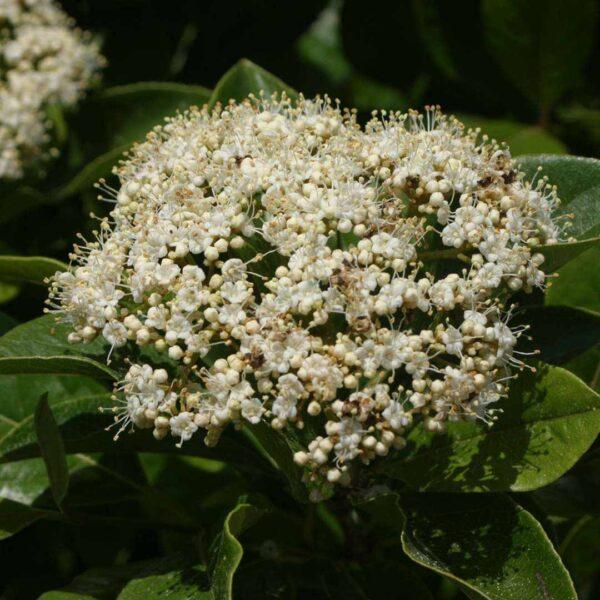 Viburnum Brandywine, Possumhaw Viburnum