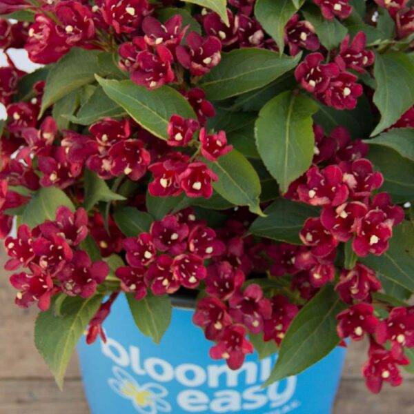 Weigela Date Night Maroon Swoon