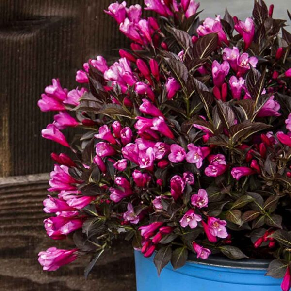 Weigela Date Night Stunner