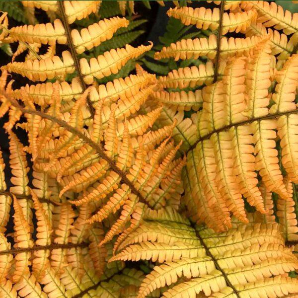 Dropteris Jurassic Gold Alpine Wood Fern