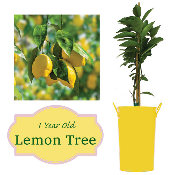Lemon Tree – Meyer Lemon In Metal Decorative Pot Citrus