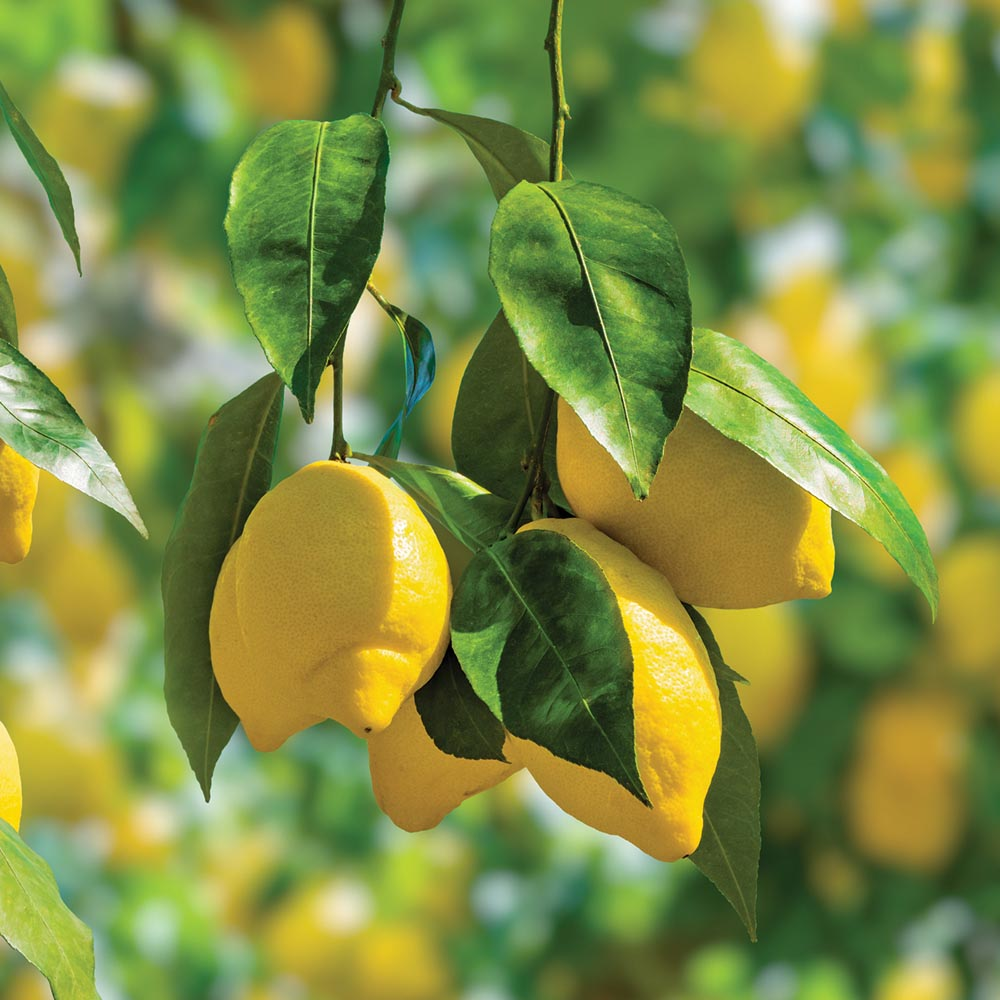 Lemon Tree lemons