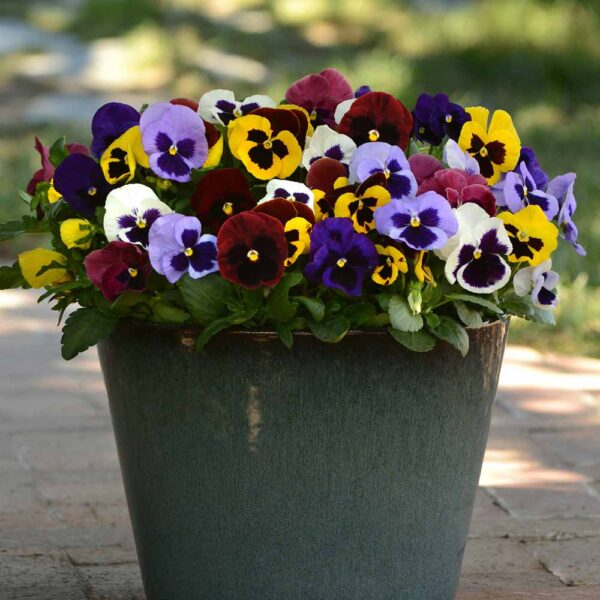 Pansy Mix Colors with Faces