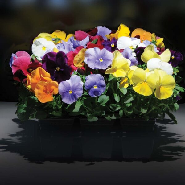 Pansy Mixed Colors