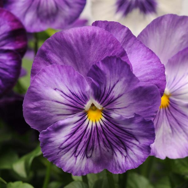 Pansy Lavender Shades