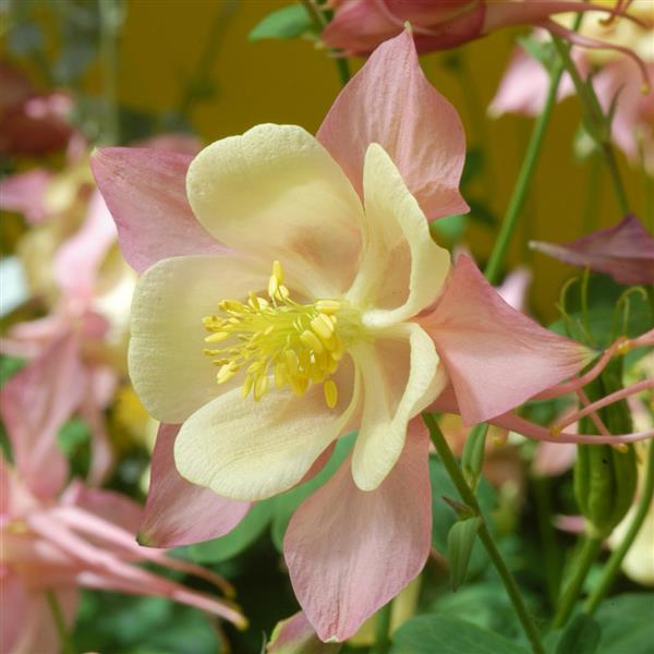 Aquilegia Swan Pink and Yellow