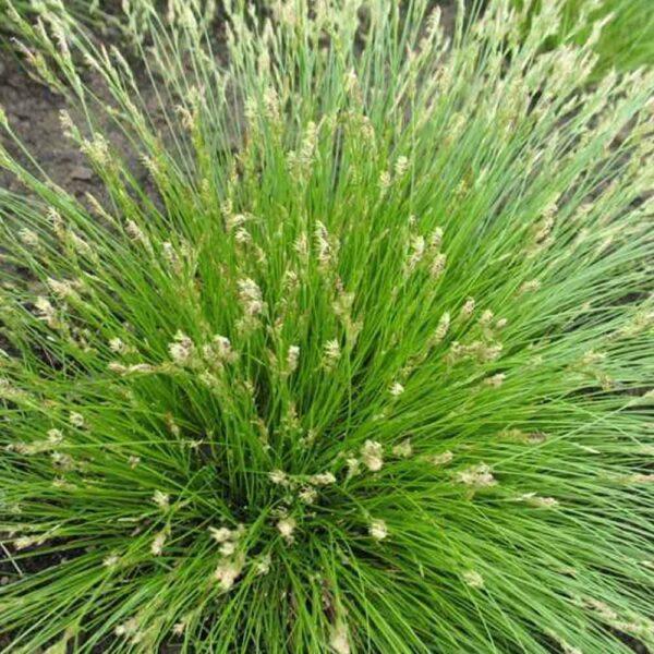 Carex albicans White Tinged Sedge