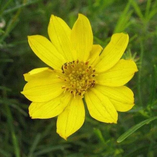 Coreopsis palmata Prairie Coreopsis