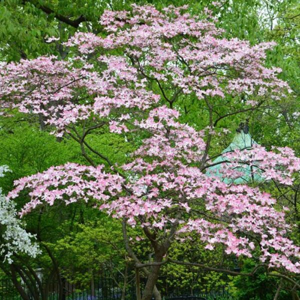 Cornus florida f. rubra Pink Flowering Dogwood Tree