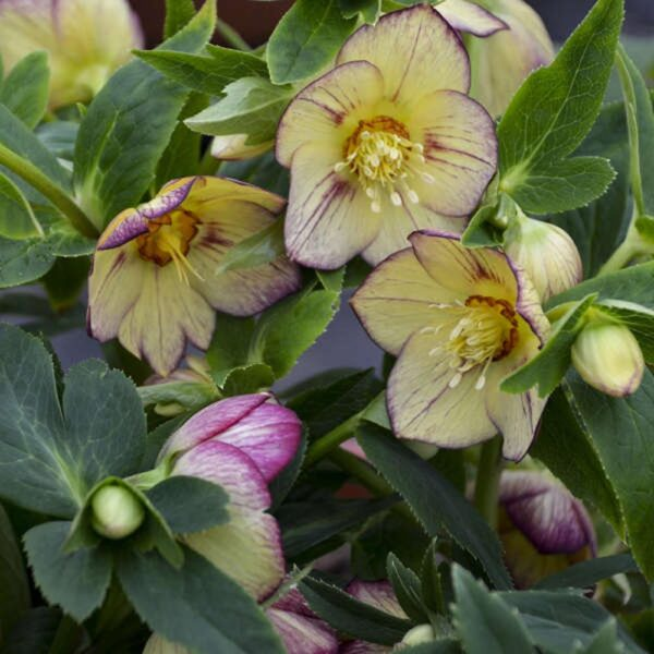 Helleborus Tropical Sunset Lenten Rose