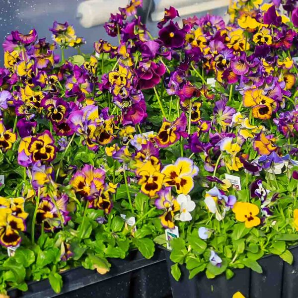 Pansy Frilly Purple and Yellow with Face