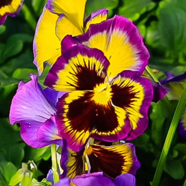 Pansy Frilly