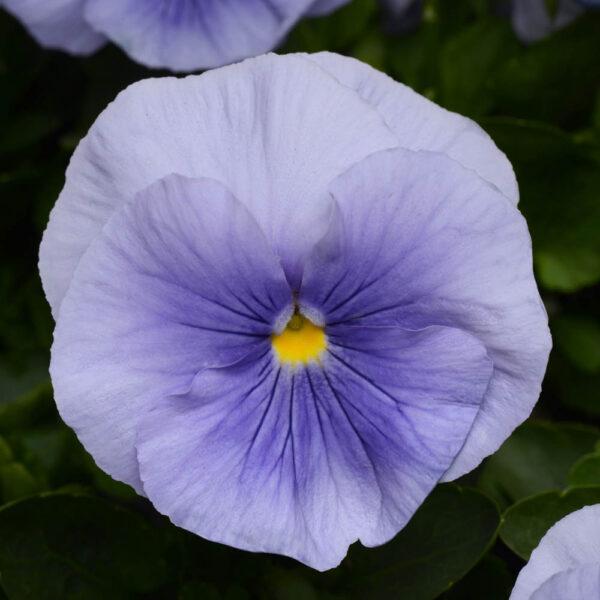 Pansy Light Blue