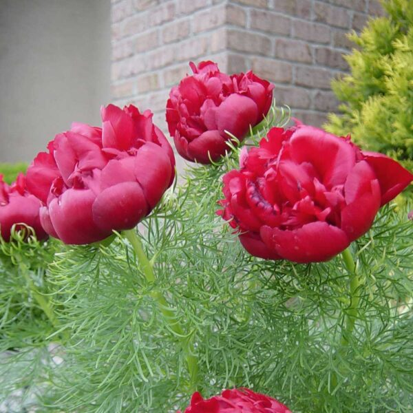 Peony-tenuifolia-Rubra-Plena
