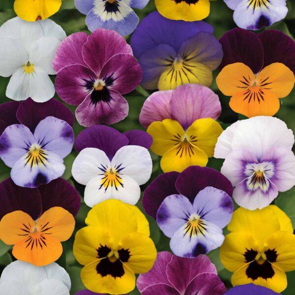 Viola Mix Miniature Pansy