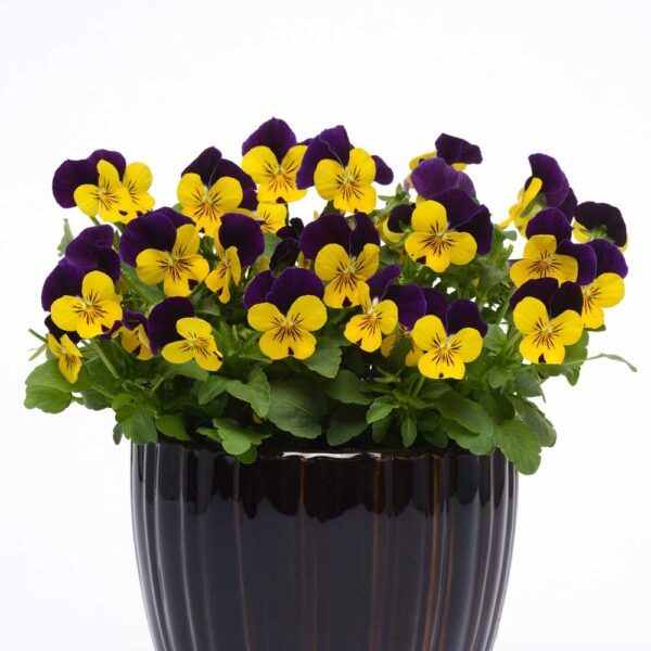 Viola Yellow Jump Up