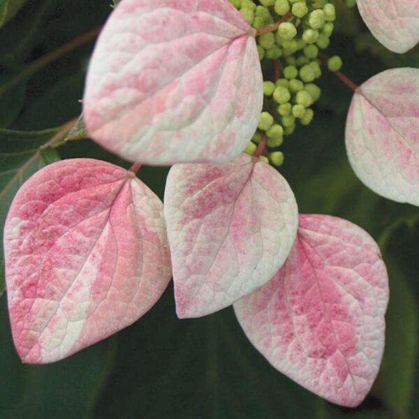 Rose Sensation Climbing Hydrangea