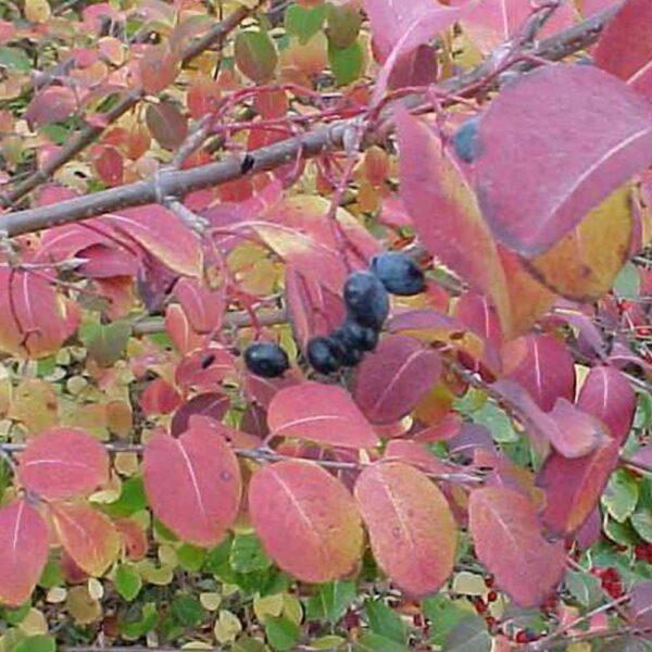 Viburnum prunifolium, Blackhaw Viburnum