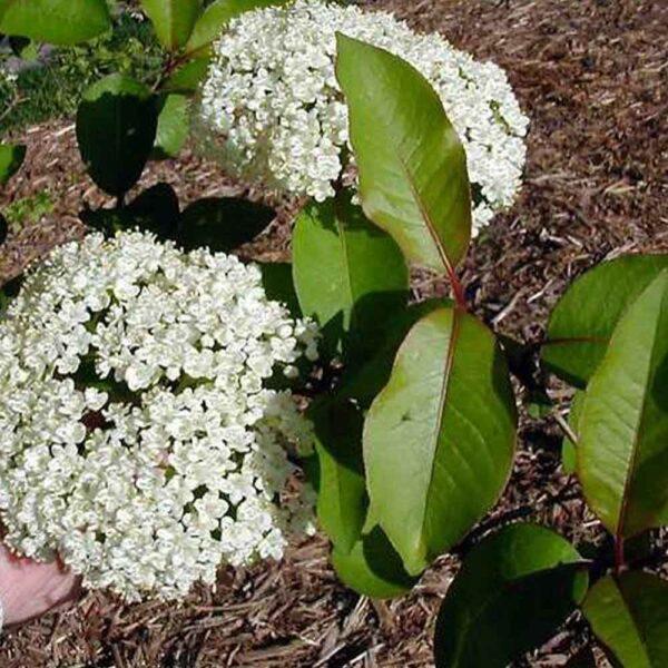 Viburnum prunifolium Blackhaw