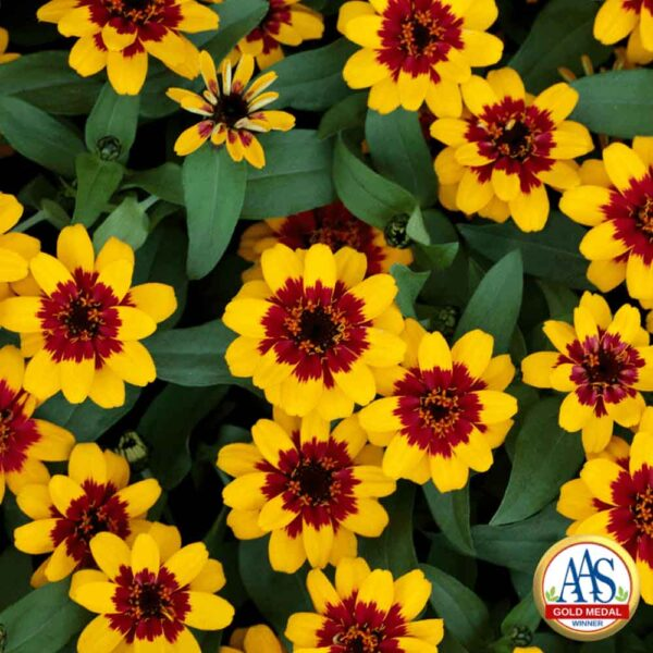 Zinnia Profusion Red and Yellow Bicolor