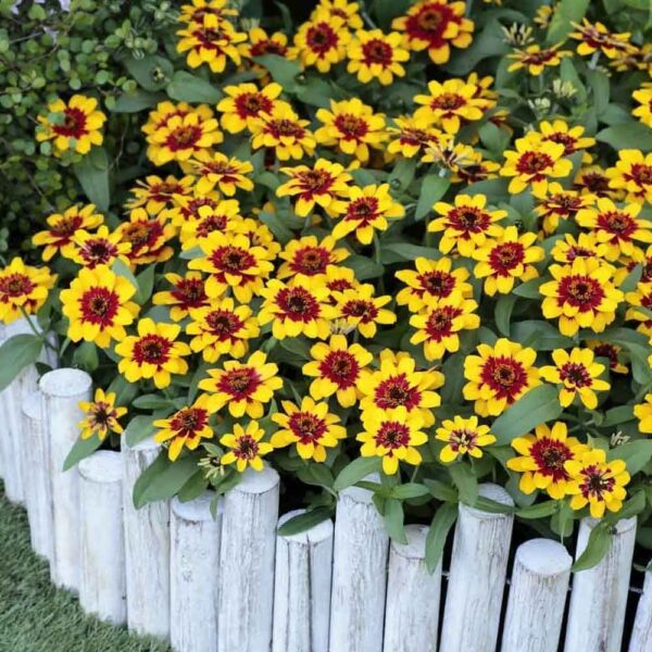 Zinnia Profusion Red and Yellow Bicolor 2
