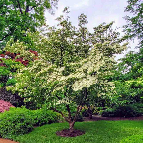 Cornus kousa, Pagoda Dogwood Tree