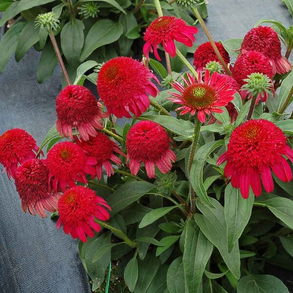 Echinacea-Cara-Mia-Rose-Coneflower