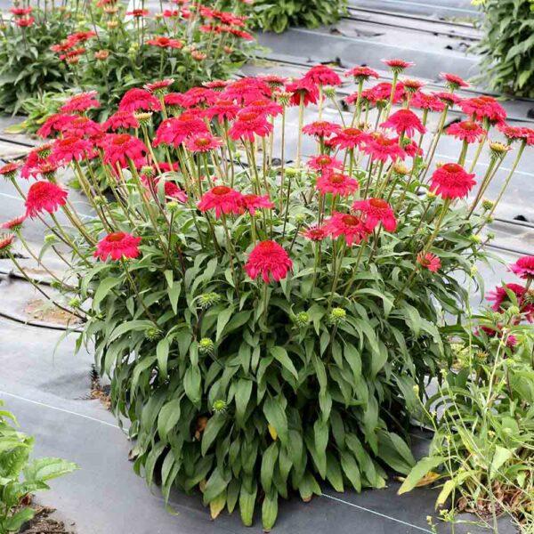 Echinacea Cara Mia Rose Coneflower