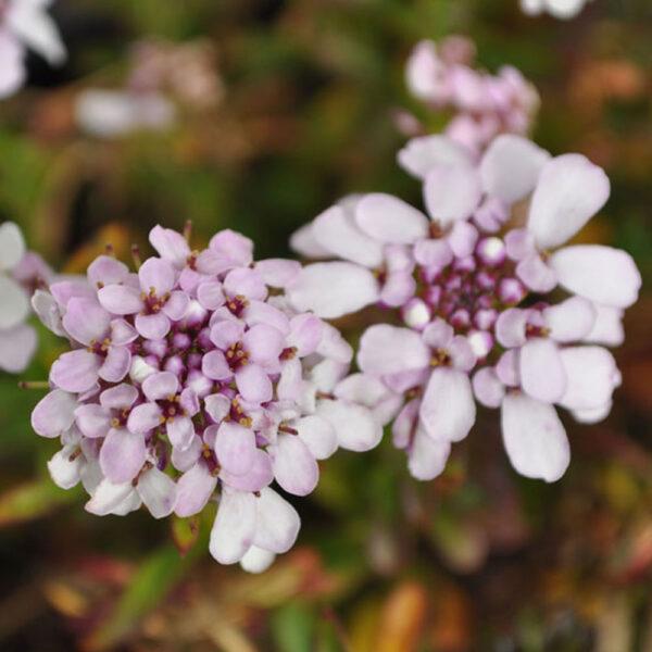 Iberis Chill Lavender