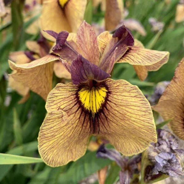 Iris pseudata Yarai Eye Shadow Iris
