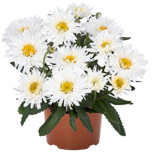 Leucanthemum Sweet Daisy Rebecca Shasta Daisy