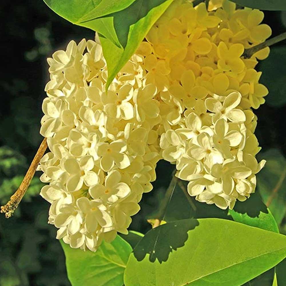 Syringa Primrose Lilac