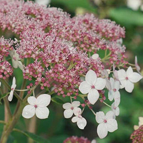 Hydrangea Pinky Pollen Ring Smooth Hydrangea
