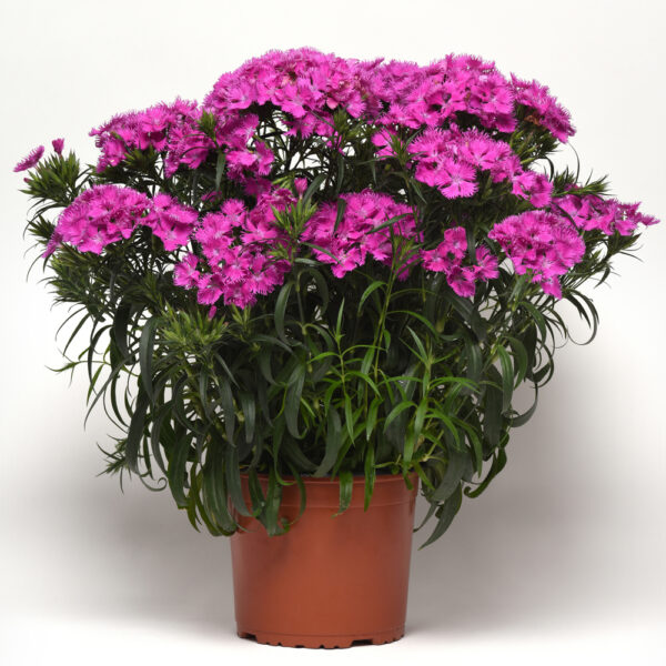 Dianthus Rockin Purple Pinks