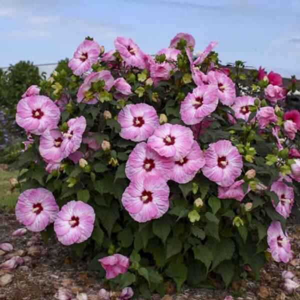 Hibiscus Spinderella Rose Mallow