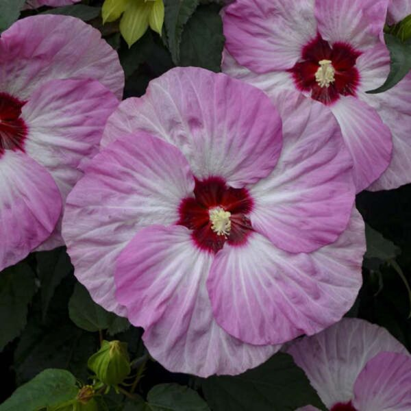 Hibiscus Spinderella