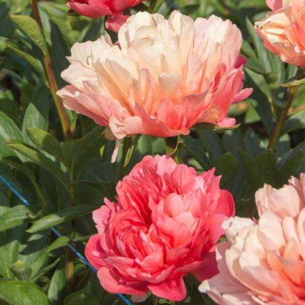 Paeonia Lorelei Peony – Fresh Dug Roots for Fall Planting