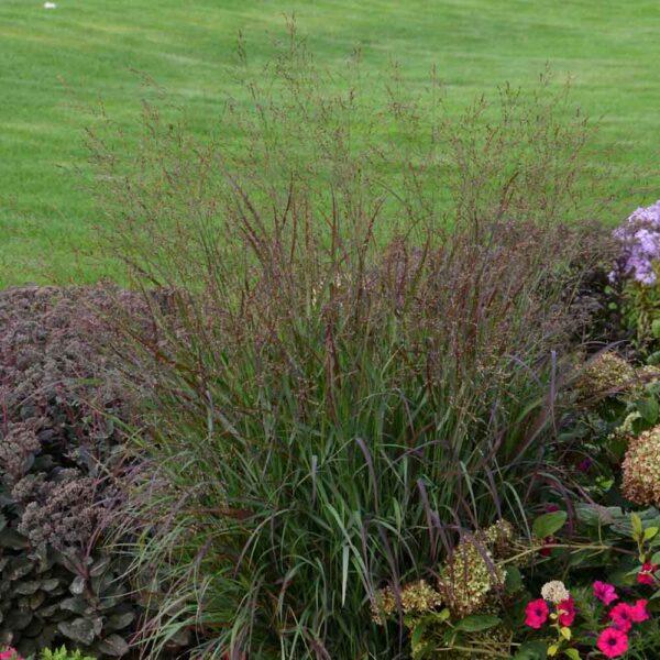 Panicum Cheyenne Sky, Switch Grass